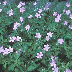 Plant form: Geranium maculatum. ~ By Frank Bramley. ~ Copyright © 2019 New England Wild Flower Society. ~ Image Request, images[at]newenglandwild.org