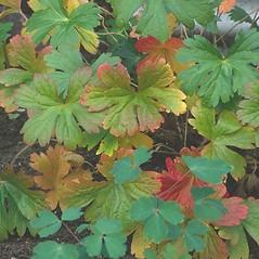Leaves: Geranium maculatum. ~ By Arieh Tal. ~ Copyright © 2019 Arieh Tal. ~ http://botphoto.com/ ~ Arieh Tal - botphoto.com