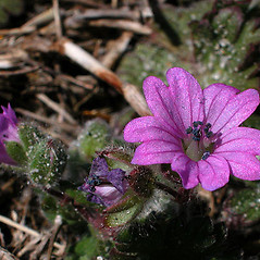 Flowers: Geranium molle. ~ By David G. Smith. ~ Copyright © 2020. ~ dgsmith3[at]gmail.com ~ Delaware Wildflowers - delawarewildflowers.org/