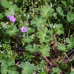 Plant form: Geranium molle. ~ By Steven Baskauf. ~ Copyright © 2017 CC-BY-NC-SA. ~  ~ Bioimages - www.cas.vanderbilt.edu/bioimages/frame.htm