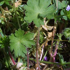 Leaves: Geranium molle. ~ By Steven Baskauf. ~ Copyright © 2020 CC-BY-NC-SA. ~  ~ Bioimages - www.cas.vanderbilt.edu/bioimages/frame.htm