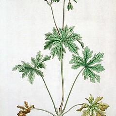 Plant form: Geranium pratense. ~ By William Curtis. ~  Public Domain. ~ None needed ~ Robert W. Freckmann Herbarium, U. of Wisconsin-Stevens Point