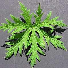 Leaves: Geranium pratense. ~ By Chicago Botanic Garden . ~ Copyright © 2020 CC BY-NC-SA 3.0. ~ None required ~ Morphbank - Biological Imaging - www.morphbank.net