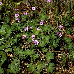 Plant form: Geranium pusillum. ~ By W.H. Wagner. ~ Copyright © 2018 University of Michigan Herbarium. ~ No permission needed for non-commercial uses, with proper credit ~ U. of Michigan Herbarium - herbarium.lsa.umich.edu/