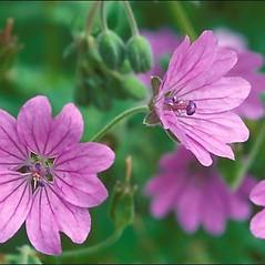Flowers: Geranium pyrenaicum. ~ By Amadej Trnkoczy. ~ Copyright © 2017 Amadej Trnkoczy. ~ amadej.trnkoczy[at]siol.net ~ CalPhotos - calphotos.berkeley.edu/flora/