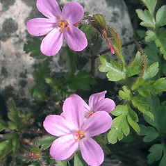 Flowers: Geranium robertianum. ~ By Marilee Lovit. ~ Copyright © 2019 Marilee Lovit. ~ lovitm[at]gmail.com