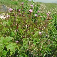 Plant form: Geranium robertianum. ~ By Glen Mittelhauser. ~ Copyright © 2020 Glen Mittelhauser. ~ www.mainenaturalhistory.org