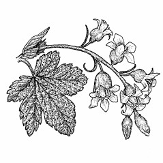 Flowers: Ribes americanum. ~ By Elizabeth Farnsworth. ~ Copyright © 2018 New England Wild Flower Society. ~ Image Request, images[at]newenglandwild.org