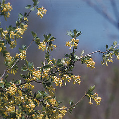 Plant form: Ribes aureum. ~ By Lucien Taylor. ~ Copyright © 2019 New England Wild Flower Society. ~ Image Request, images[at]newenglandwild.org
