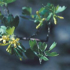 Flowers: Ribes aureum. ~ By John Lynch. ~ Copyright © 2019 New England Wild Flower Society. ~ Image Request, images[at]newenglandwild.org