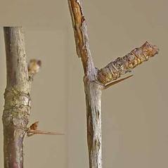 Bark: Ribes cynosbati. ~ By Andrew Nelson. ~ Copyright © 2018 Andrew Nelson. ~ andrew.nelson[at]oswego.edu   ~ New York Flora Atlas - newyork.plantatlas.usf.edu
