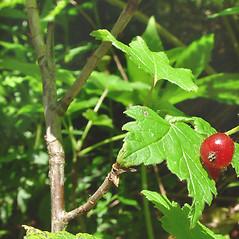 Bark: Ribes glandulosum. ~ By Glen Mittelhauser. ~ Copyright © 2017 Glen Mittelhauser. ~ www.mainenaturalhistory.org