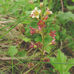 Flowers: Ribes glandulosum. ~ By Glen Mittelhauser. ~ Copyright © 2020 Glen Mittelhauser. ~ www.mainenaturalhistory.org