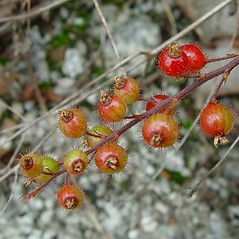 Fruits: Ribes glandulosum. ~ By Arthur Haines. ~ Copyright © 2018. ~ arthurhaines[at]wildblue.net
