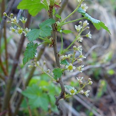 Plant form: Ribes glandulosum. ~ By Arthur Haines. ~ Copyright © 2018. ~ arthurhaines[at]wildblue.net