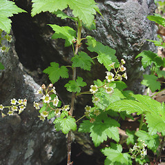 Plant form: Ribes glandulosum. ~ By Donald Cameron. ~ Copyright © 2018 Donald Cameron. ~ No permission needed for non-commercial uses, with proper credit