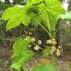 Plant form: Ribes glandulosum. ~ By Donna Kausen. ~ Copyright © 2018 Donna Kausen. ~ 33 Bears Den, Addison, ME 04606