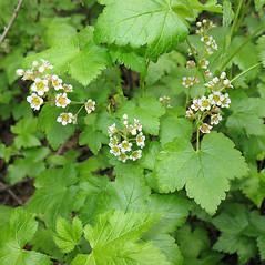 Plant form: Ribes glandulosum. ~ By Marilee Lovit. ~ Copyright © 2020 Marilee Lovit. ~ lovitm[at]gmail.com