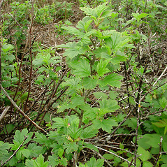 Plant form: Ribes hirtellum. ~ By Glen Mittelhauser. ~ Copyright © 2019 Glen Mittelhauser. ~ www.mainenaturalhistory.org