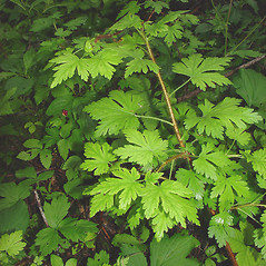 Plant form: Ribes lacustre. ~ By Glen Mittelhauser. ~ Copyright © 2017 Glen Mittelhauser. ~ www.mainenaturalhistory.org