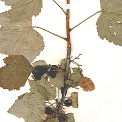 Bark: Ribes nigrum. ~ By CONN Herbarium. ~ Copyright © 2019 CONN Herbarium. ~ Requests for image use not currently accepted by copyright holder ~ U. of Connecticut Herbarium - bgbaseserver.eeb.uconn.edu/