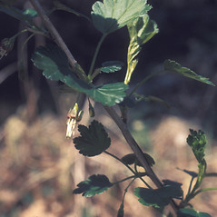 Leaves: Ribes rotundifolium. ~ By Lawrence Newcomb. ~ Copyright © 2019 New England Wild Flower Society. ~ Image Request, images[at]newenglandwild.org