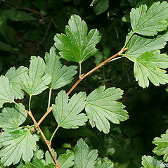 Leaves: Ribes rotundifolium. ~ By Will Cook. ~ Copyright © 2019 Will Cook. ~ cwcook[at]duke.edu, carolinanature.com ~ North Carolina Plant Photos - www.carolinanature.com/plants/