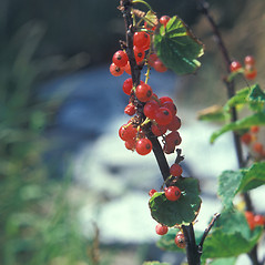 Fruits: Ribes rubrum. ~ By Jean Baxter. ~ Copyright © 2017 New England Wild Flower Society. ~ Image Request, images[at]newenglandwild.org