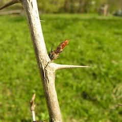 Bark: Ribes uva-crispa. ~ By Andrea Moro. ~ Copyright © 2019 CC BY-NC-SA 3.0. ~  ~ luirig.altervista.org/flora/taxa/north-america.php