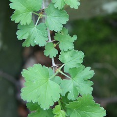 Leaves: Ribes uva-crispa. ~ By Robert Vid_ki. ~ Copyright © 2020 CC BY-NC 3.0. ~  ~ Bugwood - www.bugwood.org/