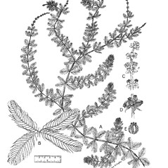 Plant form: Myriophyllum spicatum. ~ By Regina O. Hughes. ~  Public Domain. ~  ~ Reed, C.F. 1970. Selected weeds of the United States. USDA Agric. Res. Ser. Agric. Handbook 336