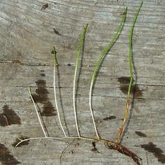 Plant form: Myriophyllum tenellum. ~ By Arthur Haines. ~ Copyright © 2018. ~ arthurhaines[at]wildblue.net