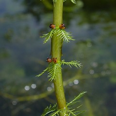 Stems: Myriophyllum verticillatum. ~ By Donald Cameron. ~ Copyright © 2018 Donald Cameron. ~ No permission needed for non-commercial uses, with proper credit
