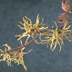 Flowers: Hamamelis virginiana. ~ By Adelaide Pratt. ~ Copyright © 2019 New England Wild Flower Society. ~ Image Request, images[at]newenglandwild.org
