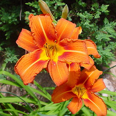Flowers: Hemerocallis fulva. ~ By Arthur Haines. ~ Copyright © 2019. ~ arthurhaines[at]wildblue.net