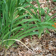 Leaves: Hemerocallis fulva. ~ By Arieh Tal. ~ Copyright © 2019 Arieh Tal. ~ www.nttlphoto.com ~ Arieh Tal - www.nttlphoto.com