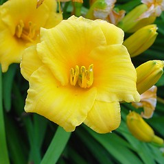 Flowers: Hemerocallis lilioasphodelus. ~ By Arthur Haines. ~ Copyright © 2020. ~ arthurhaines[at]wildblue.net