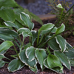 Plant form: Hosta lancifolia. ~ By Andrew Nelson. ~ Copyright © 2019 Andrew Nelson. ~ andrew.nelson[at]oswego.edu   ~ Flora of Rice Creek Field Station - www.oswego.edu/academics/opportunities/rice_creek_field_station