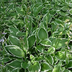 Plant form: Hosta ventricosa. ~ By Louis-M. Landry. ~ Copyright © 2018 Louis-M. Landry. ~ LM.Landry[at]videotron.ca  ~ CalPhotos - calphotos.berkeley.edu/flora/