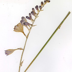 Inflorescences: Hosta ventricosa. ~ By CONN Herbarium. ~ Copyright © 2018 CONN Herbarium. ~ Requests for image use not currently accepted by copyright holder ~ U. of Connecticut Herbarium - bgbaseserver.eeb.uconn.edu/