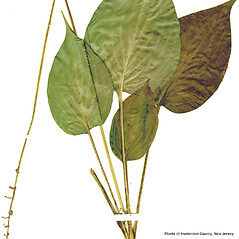 Leaves: Hosta ventricosa. ~ By CONN Herbarium. ~ Copyright © 2018 CONN Herbarium. ~ Requests for image use not currently accepted by copyright holder ~ U. of Connecticut Herbarium - bgbaseserver.eeb.uconn.edu/