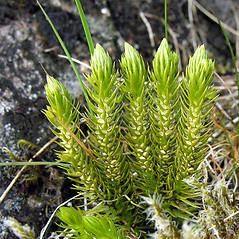 Spore cones: Huperzia selago. ~ By Peter LLewellyn. ~ Copyright © 2020 Peter LLewellyn. ~ ukwildflowers.com ~ www.ukwildflowers.com/