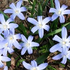 Flowers: Chionodoxa luciliae. ~ By Alexey Zinovjev. ~ Copyright © 2019. ~ webmaster[at]salicicola.com ~ Salicicola - www.salicicola.com/