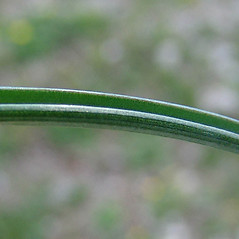 Leaves: Muscari neglectum. ~ By Paul Busselen . ~ Copyright © 2018 Paul Busselen . ~ No permission necessary; any use permitted ~ Plant Guide, Biology Department, Katholieke Universiteit Leuven, Campus Kortrijk