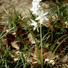 Plant form: Ornithogalum nutans. ~ By G.A. Cooper. ~ Copyright © 2019 Courtesy of the Smithsonian Institution . ~ For permission and usage agreements: http://botany.si.edu/PlantImages ~ Courtesy of Smithsonian Institution, National Museum of Natural History, Department of Botany, Plant Image Collection; botany.si.edu/PlantImages/