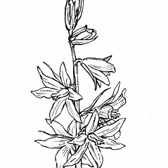 Inflorescences: Ornithogalum nutans. ~ By Gordon Morrison. ~ Copyright © 2019 New England Wild Flower Society. ~ Image Request, images[at]newenglandwild.org