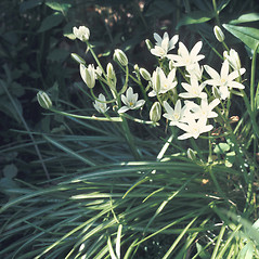 Plant form: Ornithogalum umbellatum. ~ By Lawrence Newcomb. ~ Copyright © 2017 New England Wild Flower Society. ~ Image Request, images[at]newenglandwild.org