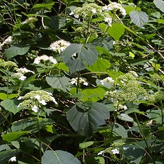Plant form: Hydrangea arborescens. ~ By Steven Baskauf. ~ Copyright © 2019 CC-BY-NC-SA. ~  ~ Bioimages - www.cas.vanderbilt.edu/bioimages/frame.htm