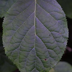 Leaves: Hydrangea arborescens. ~ By Steven Baskauf. ~ Copyright © 2017 CC-BY-NC-SA. ~  ~ Bioimages - www.cas.vanderbilt.edu/bioimages/frame.htm