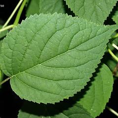 Leaves: Hydrangea cinerea. ~ By Keir Morse. ~ Copyright © 2019 Keir Morse. ~ www.keiriosity.com ~ www.keiriosity.com